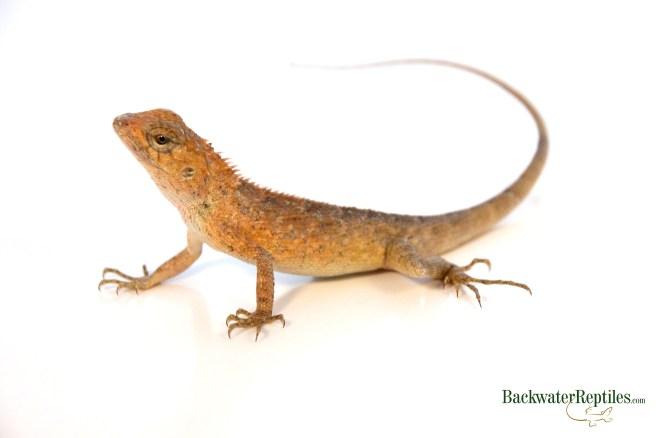 Calote Lizard Care