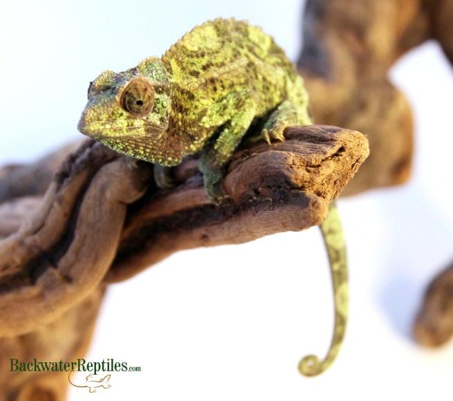 creating a chameleon habitat