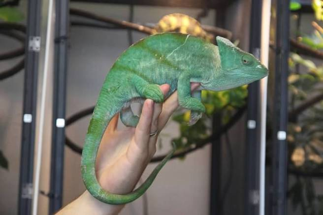 Largest Female Parson's Chameleon