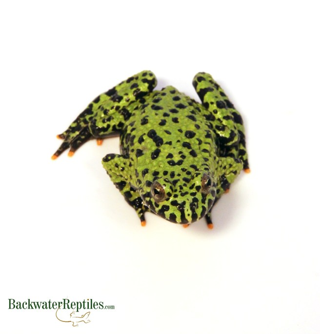 fire bellied toad care
