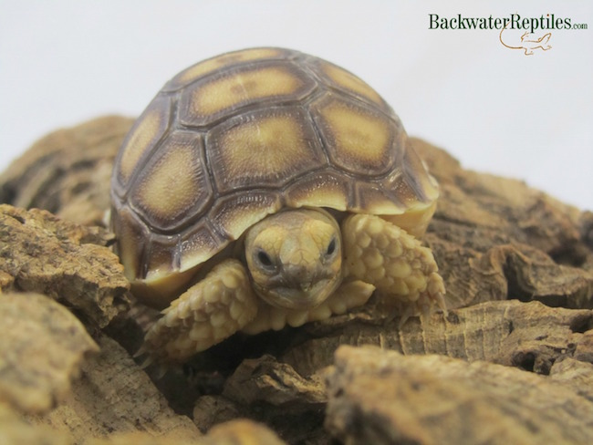Sulcata tortoise care sheet