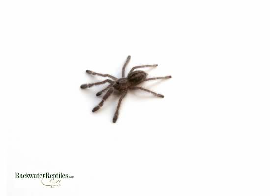 gooty sapphire spiderling
