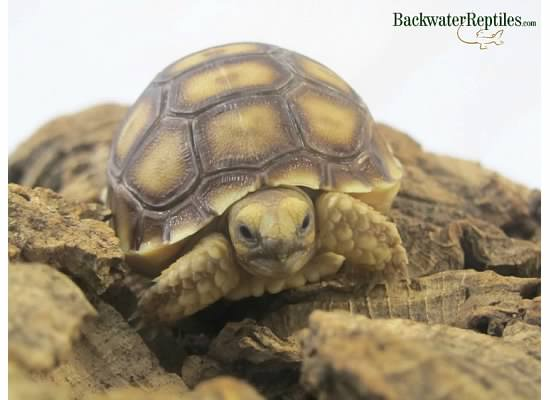 hatchling sulcata tortoise