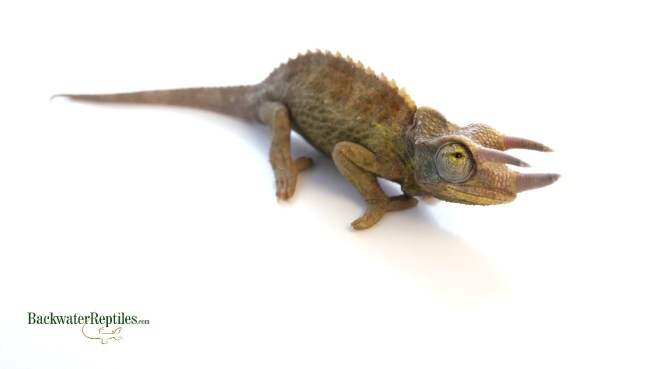 panther chameleon temperament