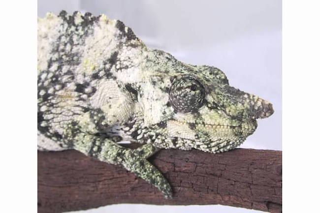 large mellers chameleon