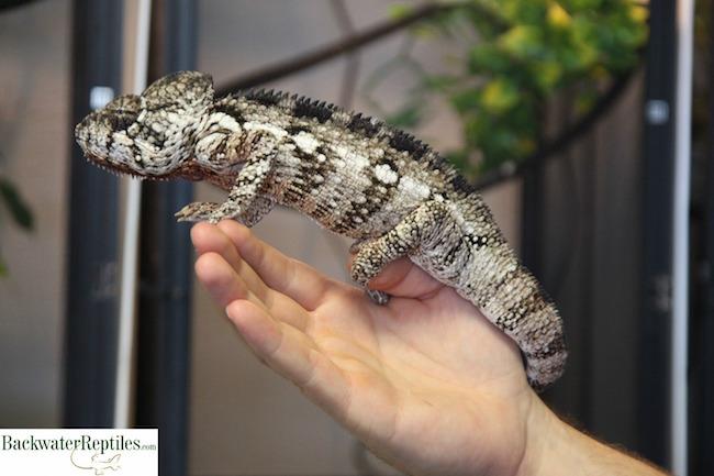 large oustalets chameleon