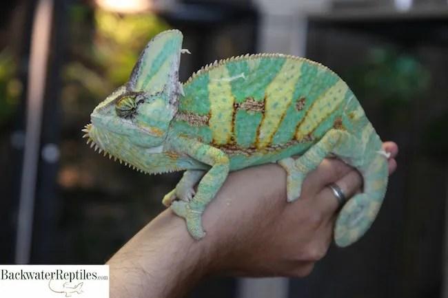 largest chameleons