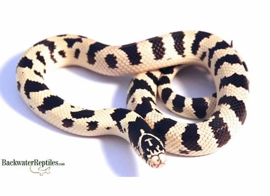 Normal CA king snake