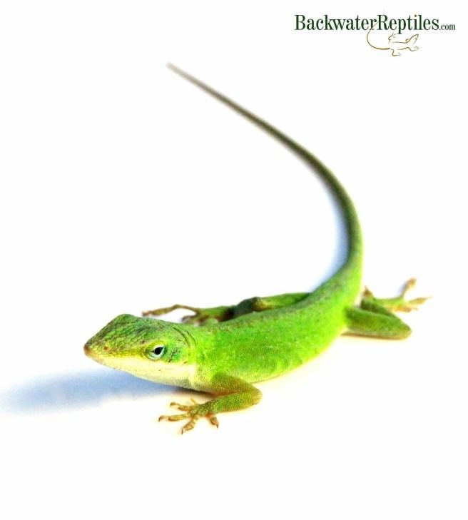 pet green anole