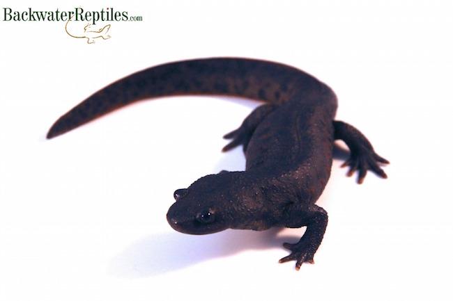 pet newt picture
