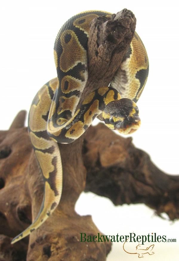 python regius care