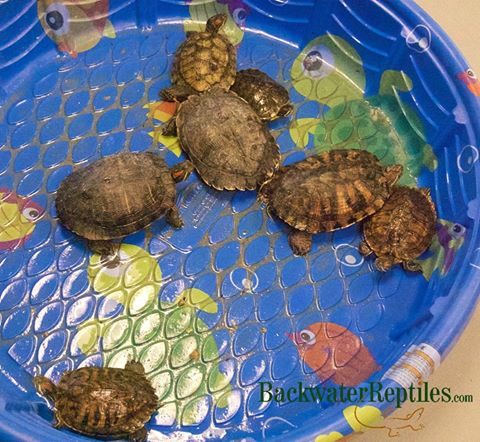 How to Care for Your Red Eared Slider Turtle
