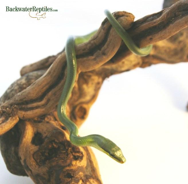 red tail green rat snake
