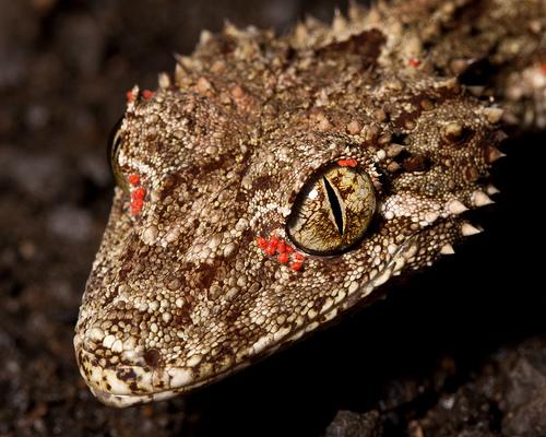 reptile mites