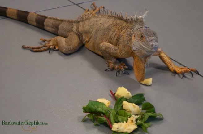 rescued red iguana