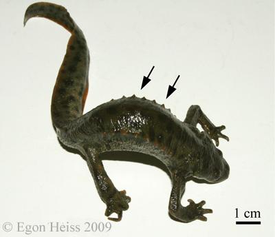 ribbed newt rib defense