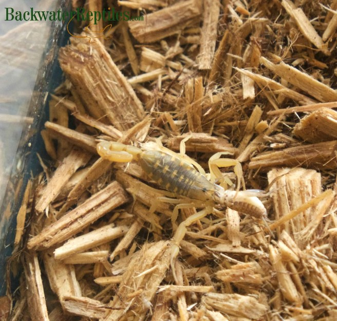 scorpion eating a cricket