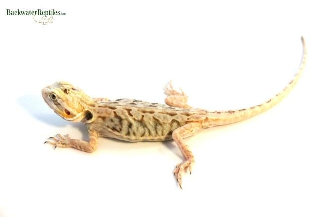 silky bearded dragon