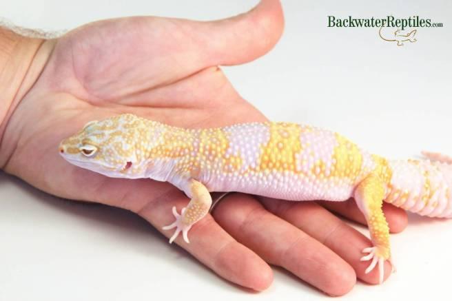 super giant albino leopard gecko