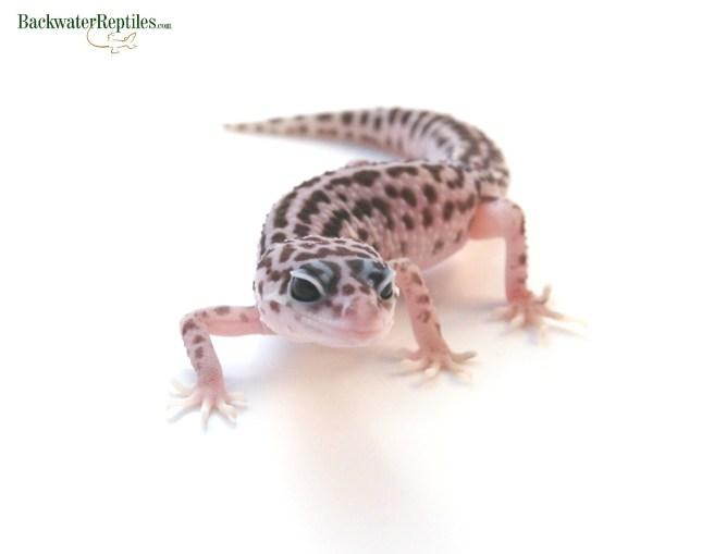 pet super snow leopard gecko