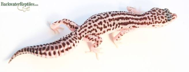 super snow leopard gecko