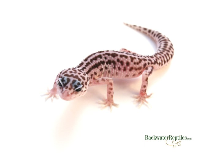 super snow morph leopard gecko