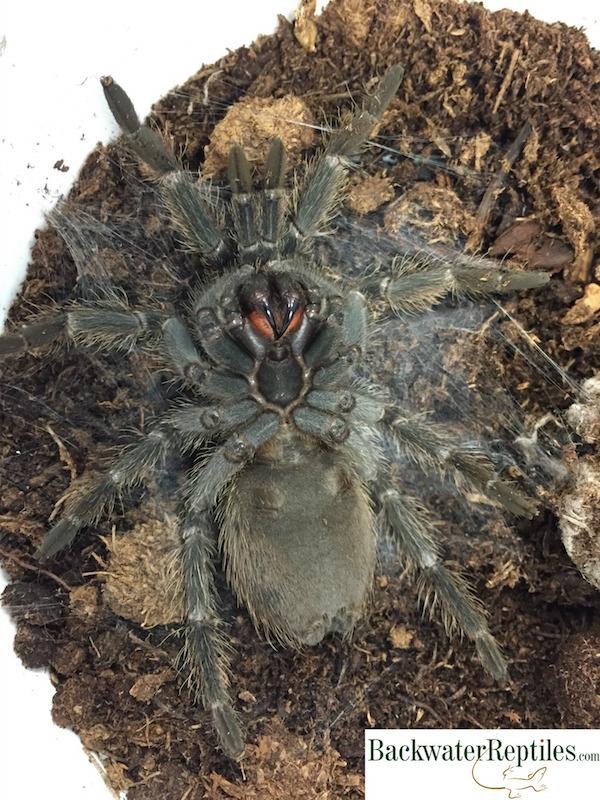 Tarantula preparing to molt