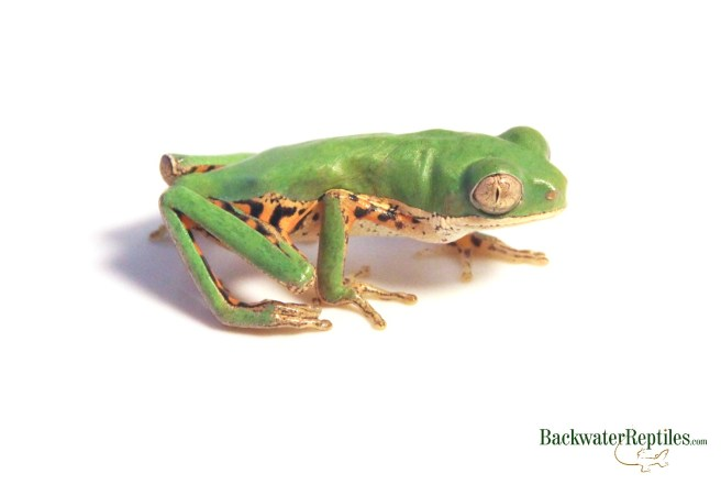 tiger leg tree frog