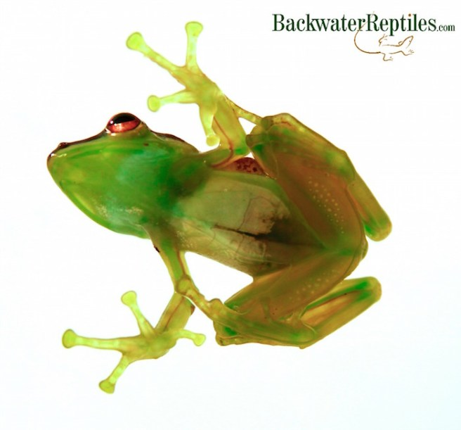 transparent tree frog belly