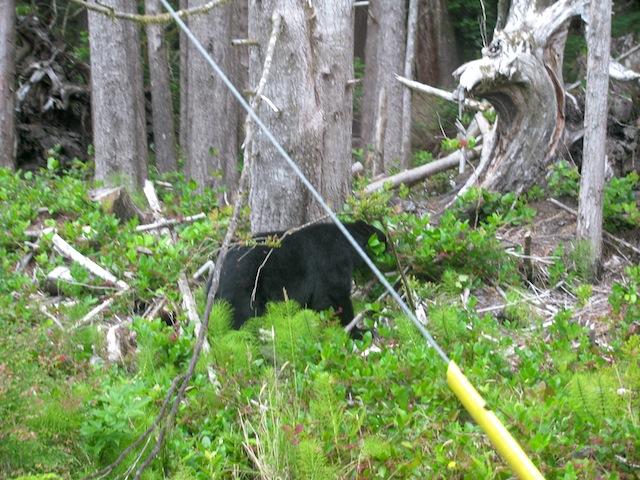1 - bear