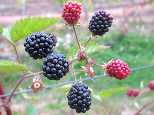 1 - blackberries