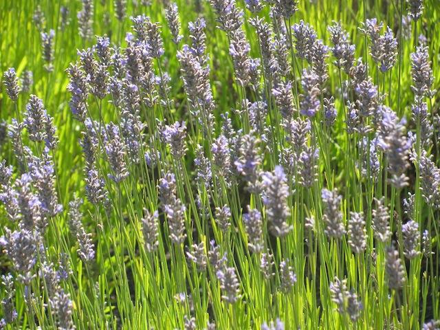 1 - lavender
