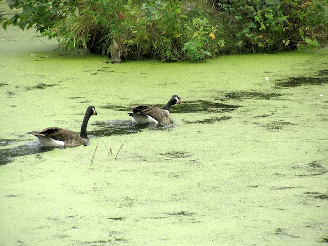 I'm not sure what made the water green, but it was intriguing to watch the ducks swim through the water and leave trails behind.