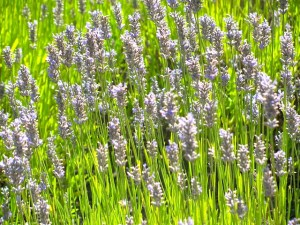 My first experience through Workaway was two weeks on a lavender farm on Vancouver Island.