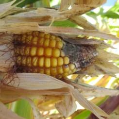 3 - oak_glen_california_corn_maze