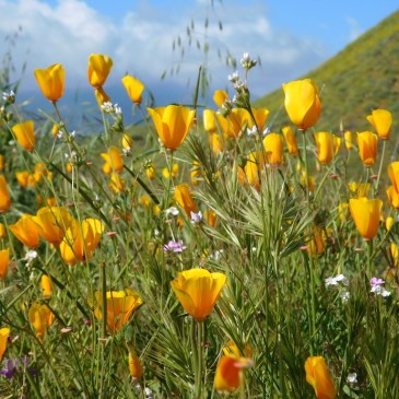 California wildflowers, Walker Canyon, Lake Elsinore