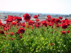 8-flower-fields-carlsbad-ranch
