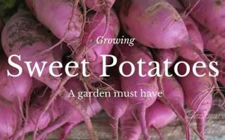 Growing Sweet Potatoes, www.backyard-eden.com, Backyard Eden