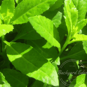 Longevity Spinach, Longevity Spinach Plants, Backyard Eden, www.backyard-eden.com