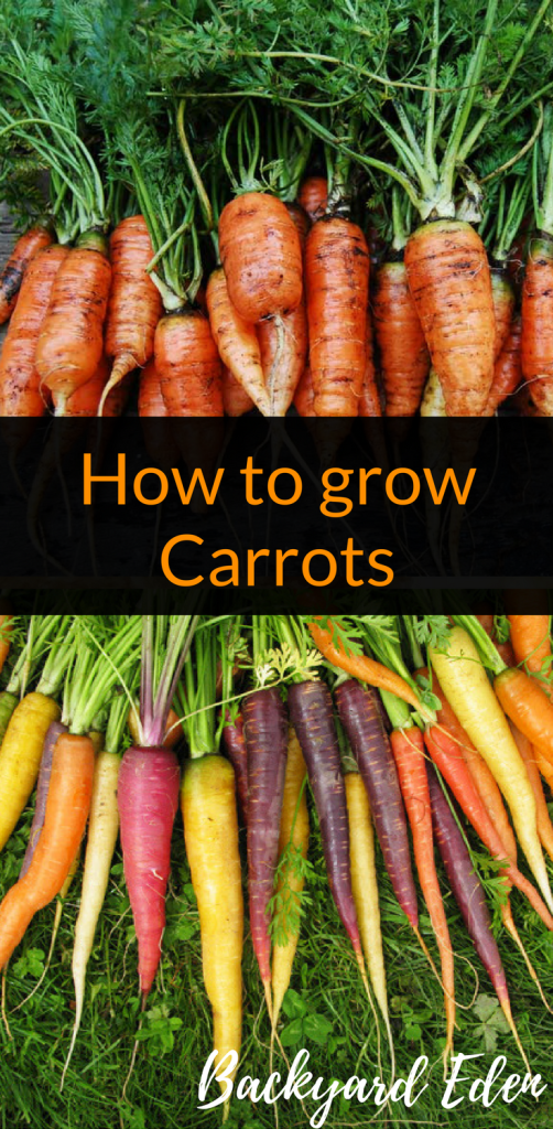 How to Grow Carrots, How to grow, Carrots, Backyard Eden, www.backyard-eden.com, www.backyard-eden.com/how-to-grow-carrots