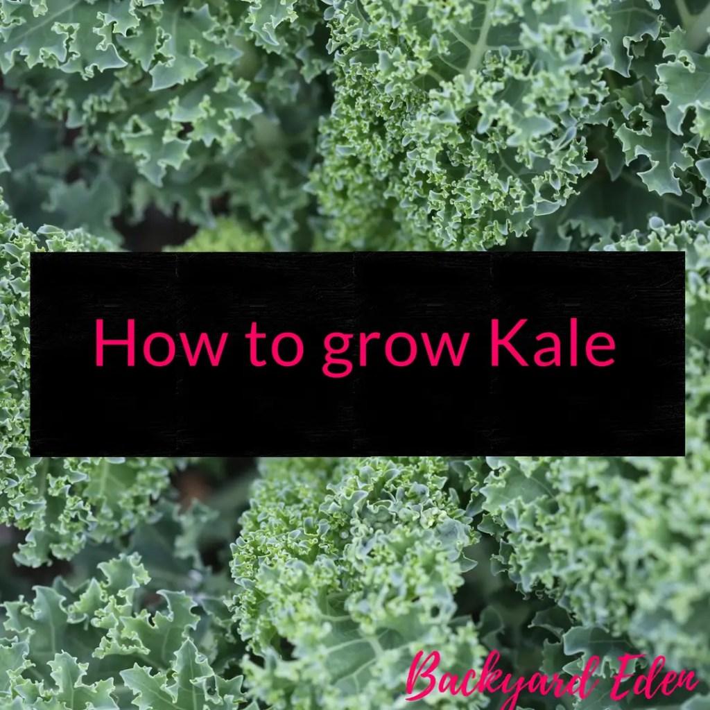 How to grow Kale, Kale, grow kale, Backyard Eden, www.backyard-eden.com, www.backyard-eden.com/how-to-grow-kale
