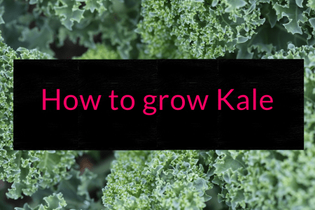 How to grow Kale, Kale, grow kale, Backyard Eden, www.backyard-eden.com, www.backyard-eden.com/how-to-grow-kale