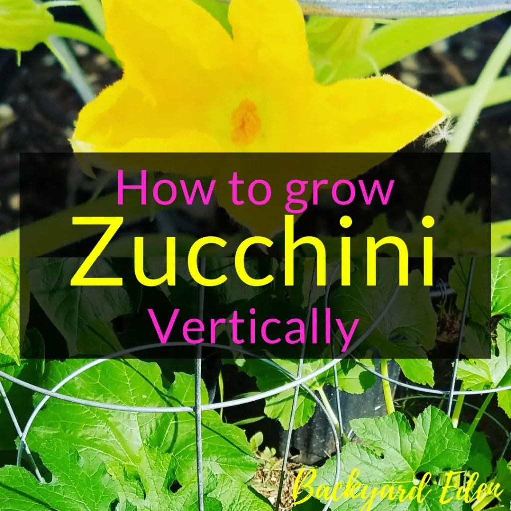 How to grow zucchini vertically, How to grow zucchini, vertical gardening, Backyard Eden, www.backyard-eden.com, www.backyard-eden.com/how-to-grow-zucchini-vertically