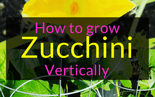 How to grow zucchini vertically, How to grow zucchini, vertical gardening, Backyard Eden, www.backyard-eden.com, www.backyard-eden.com/how-to-grow-zucchini-vertically