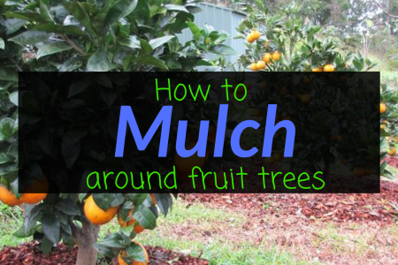How to mulch around fruit trees, mulching, fruit trees, Backyard Eden, www.backyard-eden.com, www.backyard-eden.com/how-to-mulch-around-fruit-trees