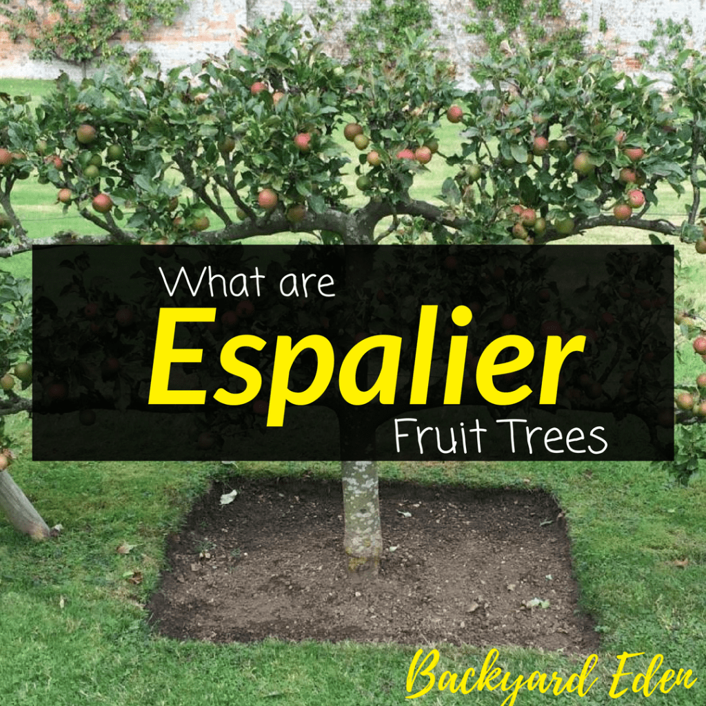 What are espalier fruit trees, fruit trees, espalier, Backyard Eden, www.backyard-eden.com, www.backyard-eden.com/what-are-espalier-fruit-trees