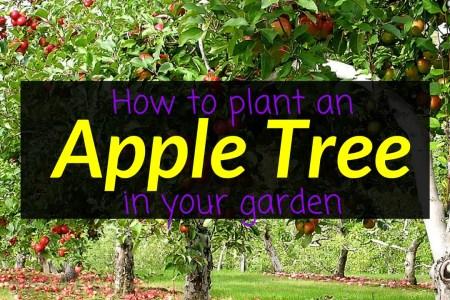 How to plant an apple tree in your garden, apple tree, fruit trees, garden, Backyard Eden, www.backyard-eden.com, www.backyard-eden.com/how-to-plant-an-apple-tree-in-your-garden