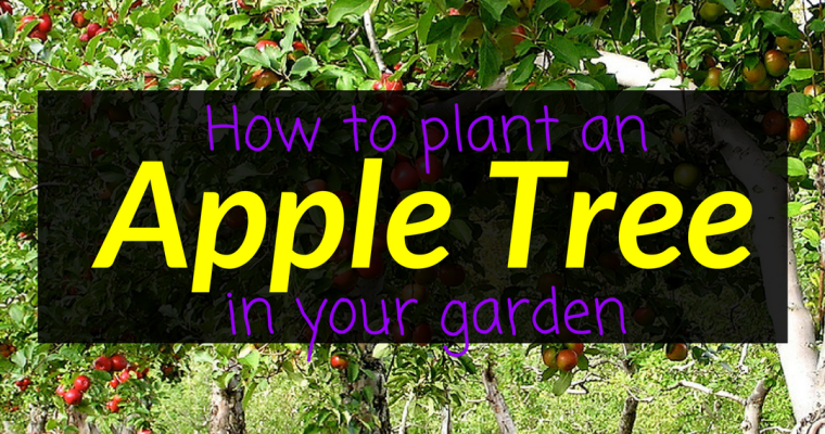 How to plant an apple tree in your garden