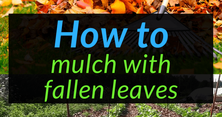 How to mulch with fallen leaves