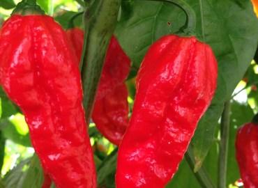 bhut jolokia, ghost pepper, Backyard Eden, www.backyard-eden.com
